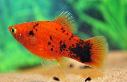 Berlin Red Spotted Platy